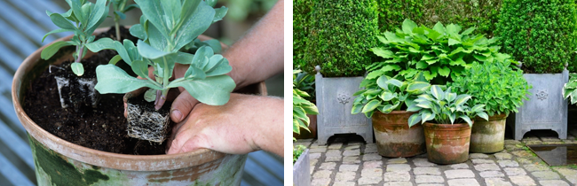 haveplanter til krukker